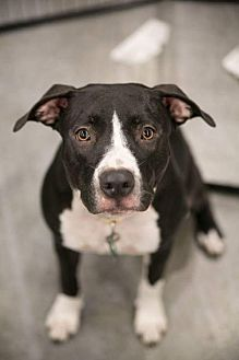 Pit Bull Terrier Mix Dog for adoption in Royal Palm Beach, Florida - Lola