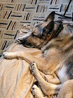 German Shepherd Dog Dog for adoption in Gainesville, Virginia - Chief