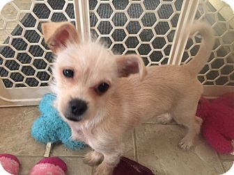 Terrier (Unknown Type, Small)/Jack Russell Terrier Mix Puppy for adoption in Hollister, California - Scooter