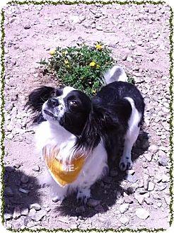Papillon Mix Dog for adoption in Las Vegas, Nevada - Pelican