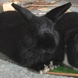Mini Rex Mix for adoption in Los Angeles, California - Yeshie