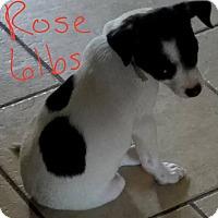 Adopt A Pet :: Rose - Lorain, OH