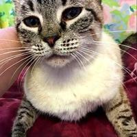 Siamese/Domestic Shorthair Mix Cat for adoption in Brownwood, Texas - Demeter