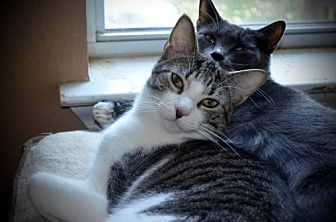 Domestic Shorthair Cat for adoption in Austin, Texas - Bruno 2