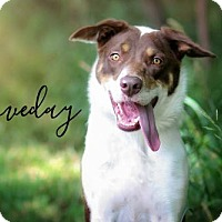 Adopt A Pet :: Loveday - Joliet, IL