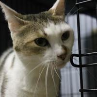 Adopt A Pet :: Joy - Lafayette, IN