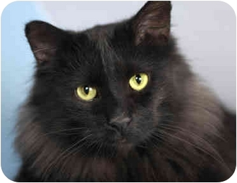 Maine Coon Cat for adoption in Chicago, Illinois - Black Beauty