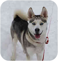 Siberian Husky Mix Dog for adoption in Boyertown, Pennsylvania - Logan