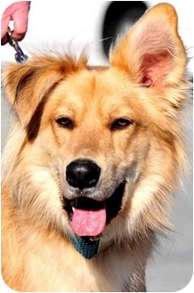 Golden Retriever/Collie Mix Dog for adoption in Pawling, New York - LOGAN
