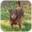 Photo 2 - Dachshund/Corgi Mix Puppy for adoption in Salamanca, New York - Morgan