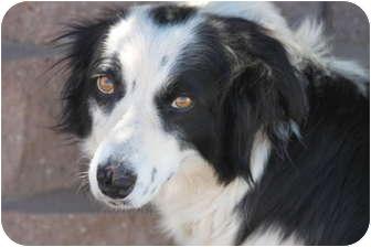Border Collie Mix Dog for adoption in San Pedro, California - MAMACITA