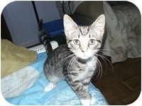 Hemingway/Polydactyl Kitten for adoption in Tampa, Florida - Joel