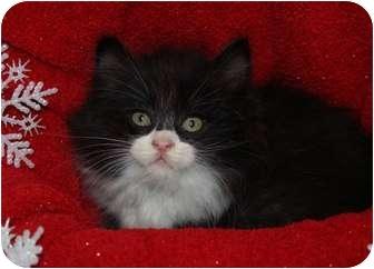 Domestic Longhair Kitten for adoption in Berlin, Connecticut - Lone Ranger-PENDING