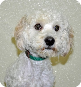 Poodle (Miniature) Mix Dog for adoption in Port Washington, New York - Pierre