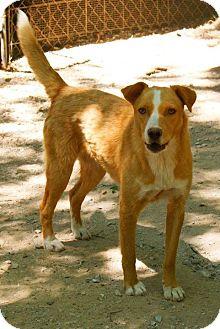 Labrador Retriever/Collie Mix Dog for adoption in East Hartford, Connecticut - JONIE  meet me 4/5