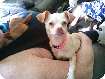 Chihuahua Mix Dog for adoption in ST LOUIS, Missouri - Shayna