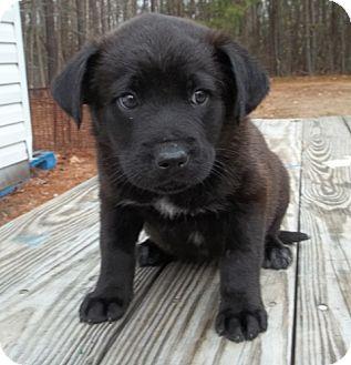 Golden Retriever/Labrador Retriever Mix Puppy for adoption in Warrenton, North Carolina - Furby Bella