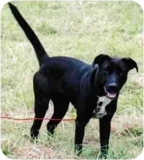 Labrador Retriever/Blue Heeler Mix Dog for adoption in Sealy, Texas - Sassy