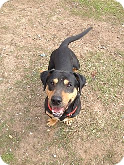 Basset Hound/Rottweiler Mix Dog for adoption in East Hartford, Connecticut - Buddy in CT