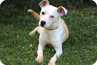 Husky/Labrador Retriever Mix Dog for adoption in Salem, New Hampshire - GINNY MAE