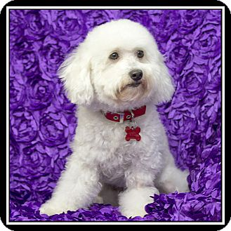 Bichon Frise/Poodle (Miniature) Mix Dog for adoption in San Diego, California - Jeana