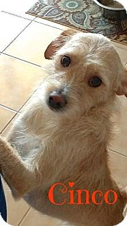 Cairn Terrier/Jack Russell Terrier Mix Dog for adoption in Scottsdale, Arizona - Cinco (Courtesy Listing)