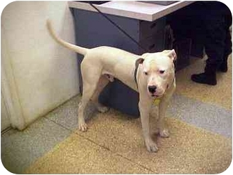Dogo Argentino Puppy for adoption in LAS VEGAS, Nevada - Cane