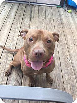 Pit Bull Terrier Mix Dog for adoption in Philadelphia, Pennsylvania - Autumn