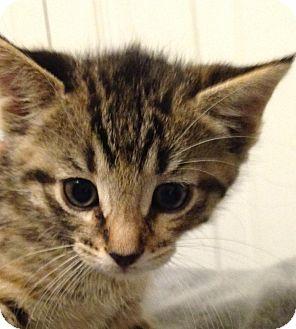 Domestic Shorthair Kitten for adoption in Woodstock, Ontario - Ceci