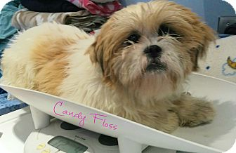 Shih Tzu Dog for adoption in House Springs, Missouri - Candy Floss