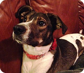 Jack Russell Terrier Mix Dog for adoption in Richmond, Virginia - Bella