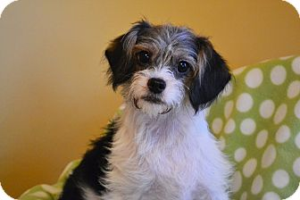 Shih Tzu/Terrier (Unknown Type, Small) Mix Puppy for adoption in Allentown, Pennsylvania - Ellis