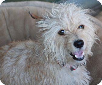 Norfolk Terrier/Poodle (Miniature) Mix Dog for adoption in Woonsocket, Rhode Island - Delaney