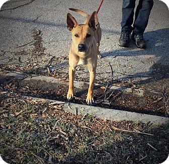 Terrier (Unknown Type, Medium) Mix Dog for adoption in Flint, Michigan - Chief