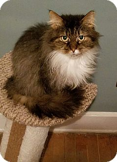 Maine Coon Cat for adoption in Cleveland, Ohio - Huan