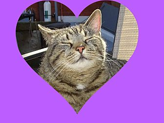 Domestic Shorthair Cat for adoption in Taylor Mill, Kentucky - Rocky-BONDED with Lizzie