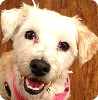 Wheaten Terrier/Terrier (Unknown Type, Small) Mix Dog for adoption in Boulder, Colorado - Dixie-ADOPTION PENDING