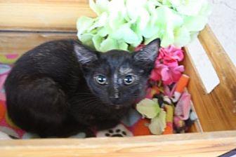 Domestic Shorthair Cat for adoption in Phoenix, Arizona - Comet