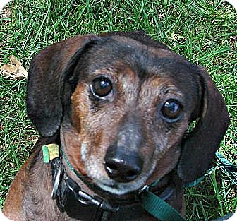 Dachshund Dog for adoption in Forest Ranch, California - Peaches