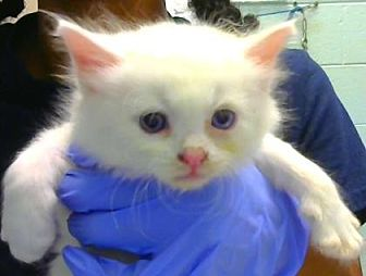 Domestic Longhair Kitten for adoption in Decatur, Georgia - Penne - ADOPTED