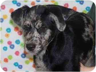 Catahoula Leopard Dog Mix Puppy for adoption in New Carlisle, Indiana - Mcflurry