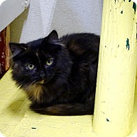 Domestic Longhair Cat for adoption in Belleville, Michigan - Cayce