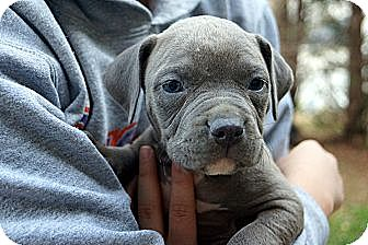 Bulldog/Staffordshire Bull Terrier Mix Puppy for adoption in West Nyack, New York - Spruce