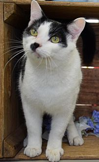 Domestic Shorthair Cat for adoption in Herndon, Virginia - Otto
