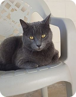 Russian Blue Cat for adoption in Umatilla, Florida - Cleopatra
