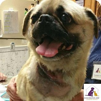 Pug/Beagle Mix Dog for adoption in Eighty Four, Pennsylvania - Andie