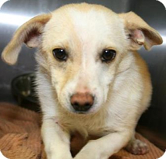 Terrier (Unknown Type, Small) Mix Puppy for adoption in Philadelphia, Pennsylvania - Cooper