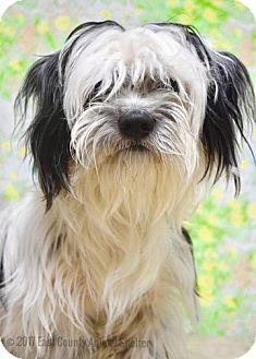 Lhasa Apso/Maltese Mix Dog for adoption in Dublin, California - Checkers