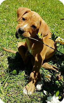 Labrador Retriever/Terrier (Unknown Type, Medium) Mix Puppy for adoption in South Dennis, Massachusetts - Molly