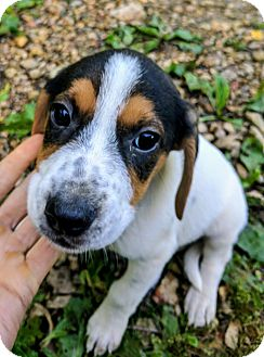 Jack Russell Terrier/Rat Terrier Mix Puppy for adoption in Goodlettsville, Tennessee - Aladdin